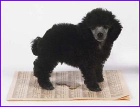 Smart Poodle