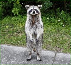 crazy racoon