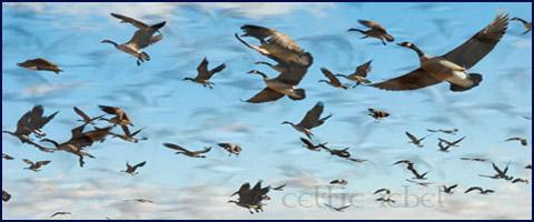 great flocks