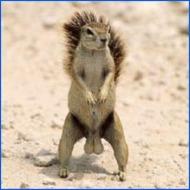 big squirrel testicles