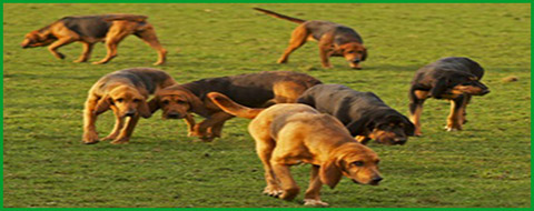 bloodhounds sniffing out droppings