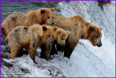 cognitive mimicry learning bears cubs